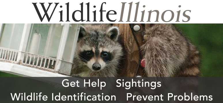 A link the Wildlife Illinois web site with advertisements for its four sections: Help, Sightings, Wildlife Identification, and Prevent Problems.